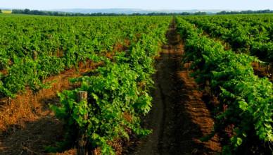 Виноградники-Молдовы