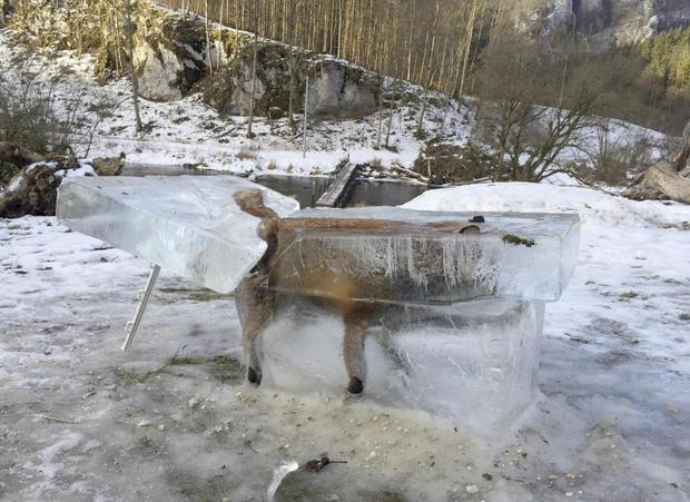 На Дунае заживо замерзла лиса